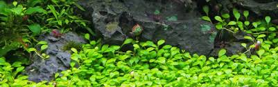 Aquascape Aquarium Plants The Right Timing For Trimming Aquatic Plants Aquascaping Wiki