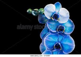 Blue Orchid Flower Blue Orchid Black Background Stock Photos U0026 Blue Orchid Black