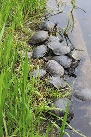20 best sea turtles images on pinterest