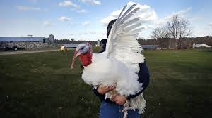 can breeders cure what ails our breast heavy turkeys the salt npr