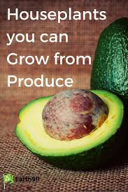 best 25 indoor avocado tree ideas on pinterest avocado plant
