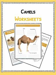 camel facts information u0026 worksheets for kids teaching resources