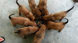 belgian shepherd 4 months part 1 6 weeks old belgian malinois pups eating breakfast
