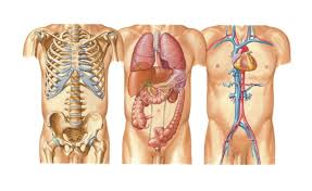 Human Body Anatomy Pics Anatomy Human Body Organs Female Human Anatomy Chart