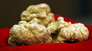 italian white truffle italian white truffle fetches 87 000 at alba auction al arabiya