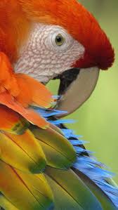 28 best pretty parrots images on pinterest animals beautiful