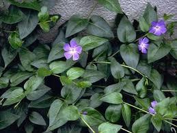 Vinca Flower Information - best 25 periwinkle ground cover ideas on pinterest myrtle