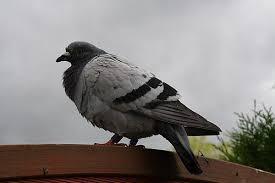 cuisine des pigeons voyageurs les pigeons voyageurs notre marrakech 45 70