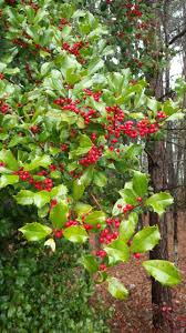 plants native to maryland american holly shines in extreme cold university of maryland