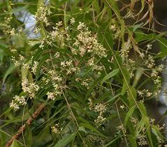 Plant Diseases Wikipedia - azadirachta indica wikipedia