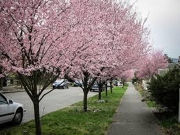 download decorative plum trees solidaria garden