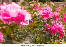 rose garden city park berlin summer garden flowers roses in garden