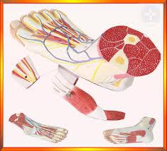 Foot Vascular Anatomy Online Shop Free Ship U00261 1 Natural Size Foot Anatomy Model Ankle