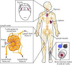 Which Cell Helps In Movement Of Bones T Cells Asu Ask A Biologist