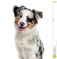 t shirt australian shepherd australian shepherd puppy isolated on white stock photo image
