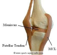 Knees Anatomy Knee Anatomy Sports Injury Info