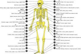 Human Anatomy Skeleton Diagram Anatomy About Human Body Bone Name Human Skeleton Names Of Bones