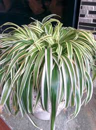 plant id forum what kind of spider plant is this garden org