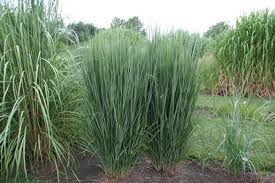trim back last year s ornamental grasses and think about