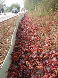 travelogue of an armchair traveller red crab migration