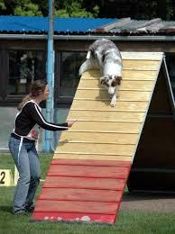 training a australian shepherd file australian shepherd red merle agility a frame jpg wikimedia