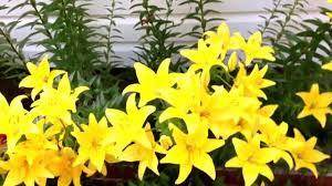 Lily Flower Garden - my flower garden youtube