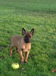 belgian sheepdog puppies price belgian shepherd malinios pups for sale whitchurch