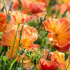California Poppy California Poppy U0027apricot Chiffon U0027 Seeds Eschscholzia Californica