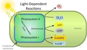 Where Do The Light Independent Reactions Occur Unit 5 Metabolism