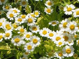 Plants That Repel Aphids by Tanacetum Parthenium Wikipedia