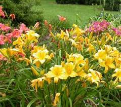 day lilies day lilies the reluctant gardener