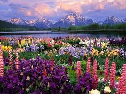 colorful lupines adding character to flower garden design and yard