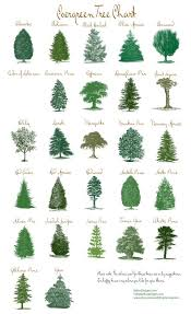 best 25 evergreen trees ideas on evergreen trees