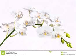white orchid flower white orchid flower stock image image of plant gently 28007693