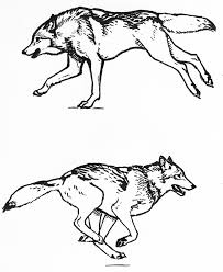 wolf running sketches by silvercrossfox on deviantart