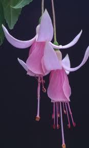 hybridizing dave clarks fuchsias