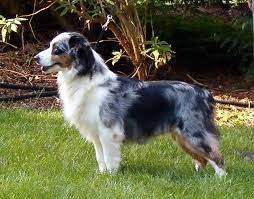 australian shepherd dachshund miniature australian shepherd puppy page avialable puppies our