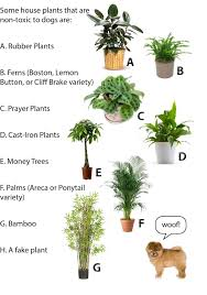 here are a few dog safe potted plants for your home sources of