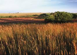 native grass plants native grass seeding