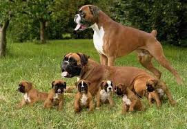 boxer dog jaw boxer dog breed information images k9 research lab