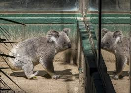 koala park sanctuary 3 koalas emaciated kangaroos 1