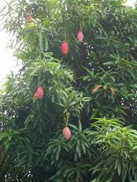 Mango Boom in suriname hadden we een mango boom in de achtertuin tuin