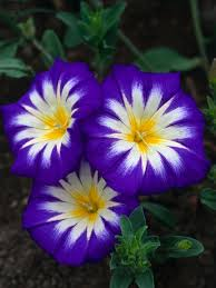 blue and purple flowers plants with purple flowers home interiror and exteriro design