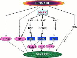 Cell Cycle Concept Map The Molecular Biology Of Chronic Myeloid Leukemia Blood Journal