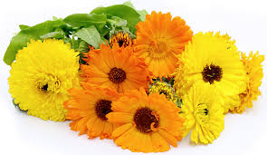 calendula flowers calendula flowers information recipes and facts