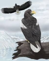stellers sea eagle wallpapers the