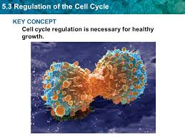 cell regulation chapter ppt video online download