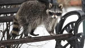 what do raccoons do in winter terminix