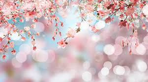 cherry blossom pics royalty free cherry blossom pictures images and stock photos istock