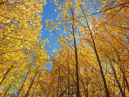 aspen trees facts arbor trees omaha nurseryarbor